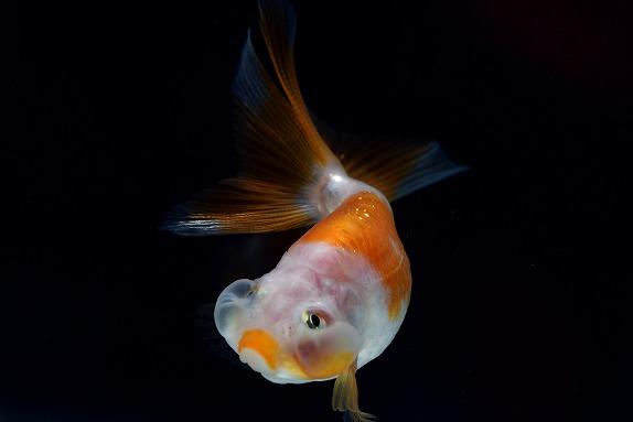 どんぶりにオススメの金魚 水泡眼