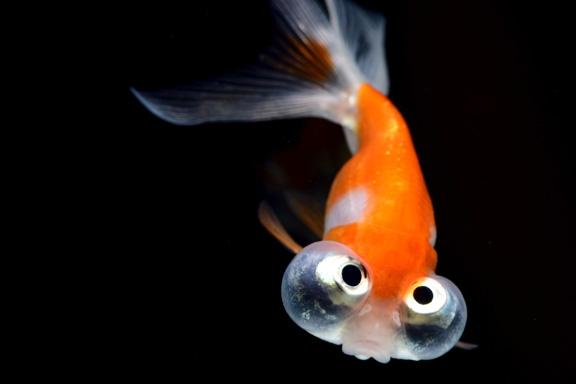 どんぶりにオススメの金魚 頂点眼