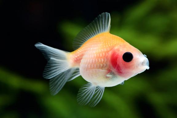 どんぶりにオススメの金魚 ピンポンパール