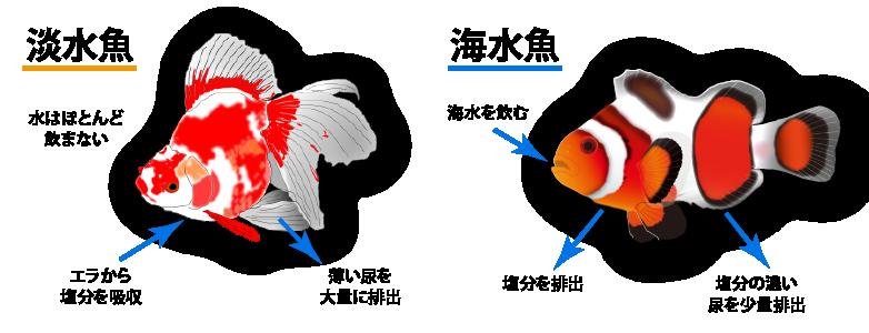 淡水魚・海水魚の浸透圧調整イラスト