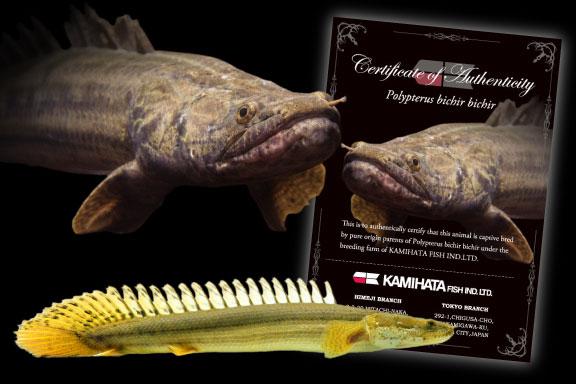 ポリプテルスビキールビキールの親魚、孵化仔魚、証明書