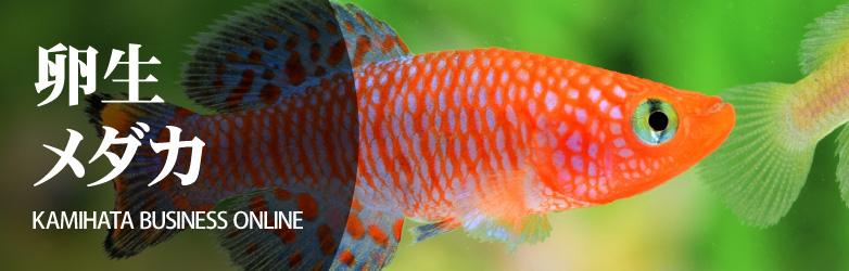 KBO 熱帯魚/卵生メダカ カミハタビジネスオンライン
